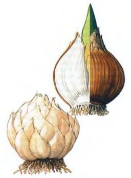 Настоящая луковица
